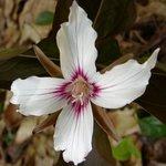 Painted Trillium 4 petal