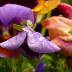 Pansy After the Rain