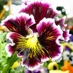 Pansy, new variety