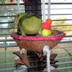 Mango, celestial parrotlet
