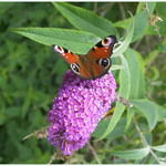 Peacock Butterfly Feeding on Buddleia