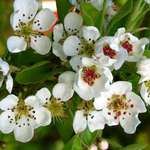 Pear tree in bloom
