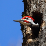 Pileated Woodpecker About To Leave The Hole