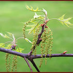 Pin Oak Flowers