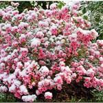 Pink And White Azelea