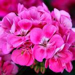 Pink Geranium 2008