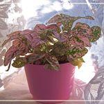 Pink Polka-Dot  Plant