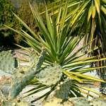 Desert Evergreen