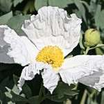 Poppy, Huge - Romneya Coulteri Matilija, or White Bush Poppy
