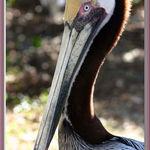 Profile Of A Pelican