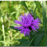 Purple Flower - Thistle or Knapweed