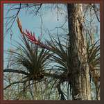 Quill-Leaf Air Plant at Big Cypress National Preserve