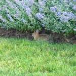 Rabbit w Purple Flowers