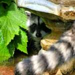 "Baby Raccoon hiding2, ""Mama's not Far Away"""