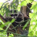 Raccoon Babies in the wild - note tail tips below branch