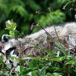 Raccoon relaxing in treetops