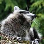 Mr Whiskers - raccoon having a scratch