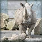 Rhino in his pen