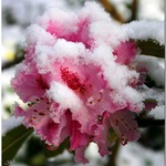 Rhododendron With Snow