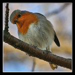 The Quizzical Robin