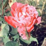 Rose and Leaf Hopper