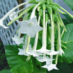 Shooting Stars/Flowering Tobacco/Nicotiana Sylvestris