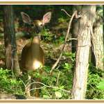 Shy Deer Peeking Through the Trees