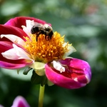 Single Bee On Single Dahlia