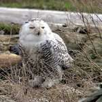 Snowy Owl, in the wild, - March 07