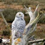 Snowy Owl on Weathered Log near Beach