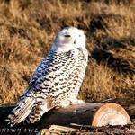 Snowy Owl - natural habitat