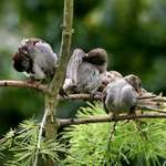 Sparrow Family Preening