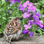 Sparrow & Flowers (Aubretia)