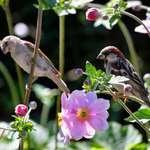 Bird Pair among the Windflowers
