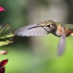 Speed of a Hummingbird