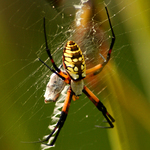 Garden Spider