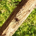 Red Back Spider
