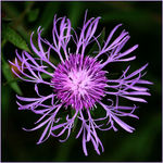Spotted Knapweed Blossom