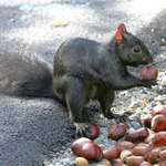 Black Squirrel with Chestnut - Signs of Autumn