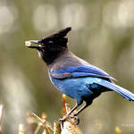 Stellars Jay (Blue Jay to some)-throat bulging with peanuts : )