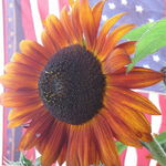 Sunflowers, Stars, and Stripes