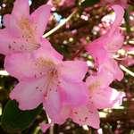 Sun Lit Blossoms