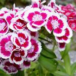 Sweet Williams - Dianthus barbatus