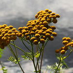 Tansy in October