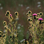 Thistle, Backlit at Sunset