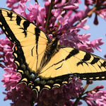 Tiger Swallowtail on Lilac