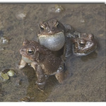 Three Toads Charming the Ladies.