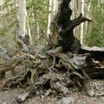 Tree Root Monster