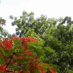 Gulmohar Bloom