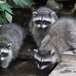 Triplet Baby Raccoons 2008